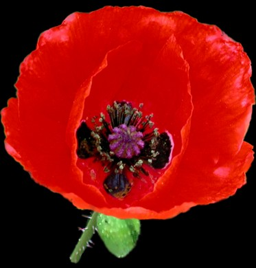 Song for remembrance day armistice day anzac day poppy day song for remembrance day armistice day anzac day poppy day veterans day little red poppy mightylinksfo